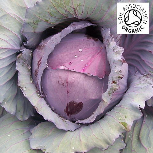Cabbage Red Acre Organic - (600 Seeds)