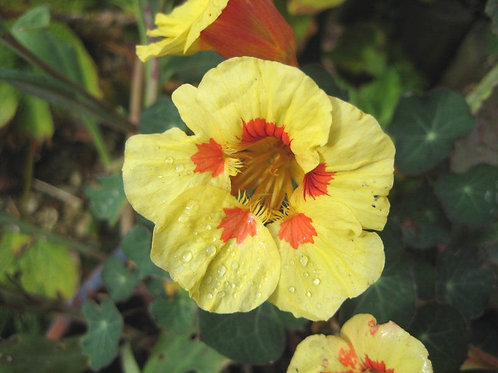 Edible Nasturtium Peach Melba Flower Seeds (Pack of 60 Seeds)