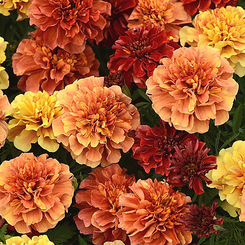 Marigold French Strawberry Blonde (Pack of 50 seeds)