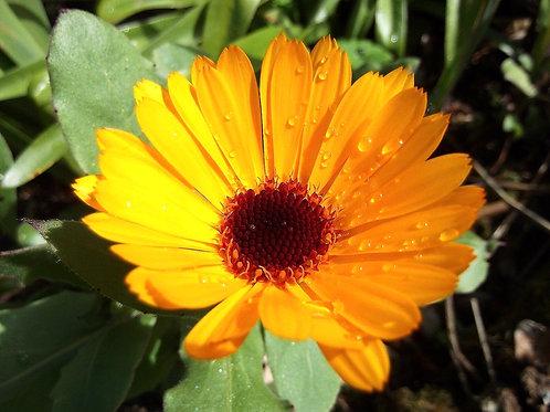 Calendula Nova - 4gm Seeds