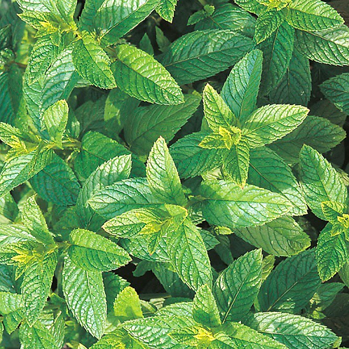 Mint Tea Green Perennial Seeds (Pack of 1000 seeds)