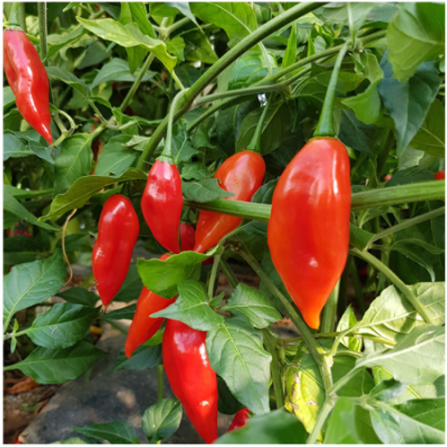 (Sow Feb-April) Paper Lantern Habanero Seeds (Pack of 20 Seeds) - Very Hot