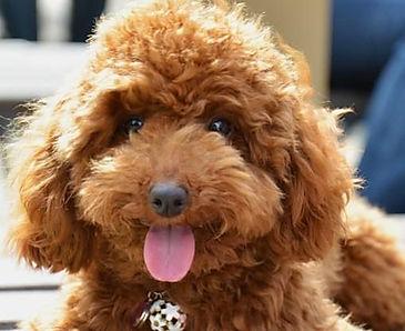 Brown-Cute-Poodle-Dog-Sitting.jpg