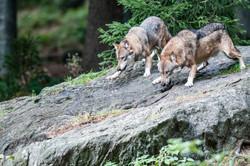 Lupi-Canis lupus