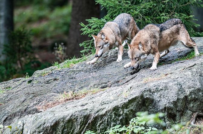 Lupi-Canis lupus.jpg