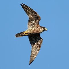 Falco pellegrino Falco peregrinus  Coner
