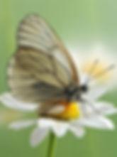 Aporia crataegi17.jpg