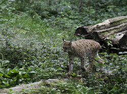lince-Lynx lynx_1537
