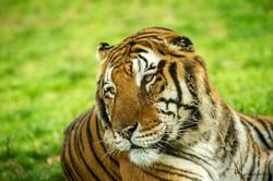 tigre-Panthera tigris
