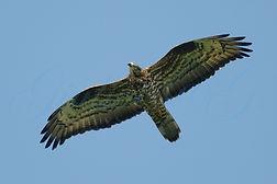 Falco pecchiaiolo_1007.jpg