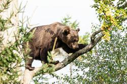 orso-Ursus arctos