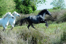 cavalli-Equus ferus caballus