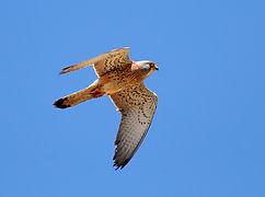 Grillaio  Falco naumanni 2.jpg