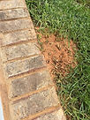 Fire ant hill next to a side walk