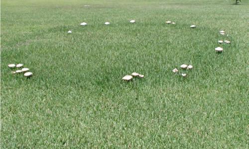 Fairy ring - mushrooms