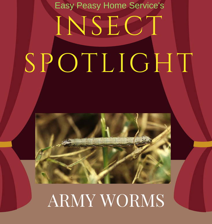 Insect Spotlight- army worm