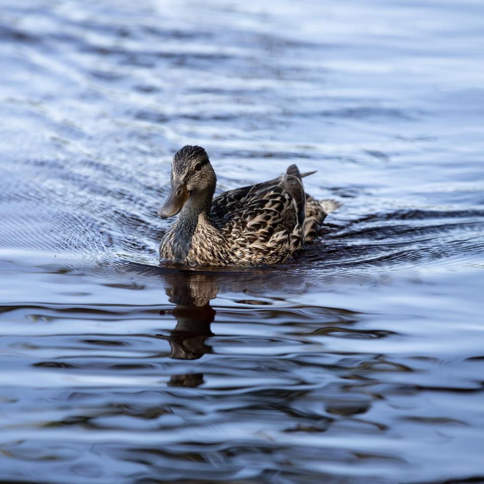 Duck Maine