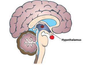 hypothalamus, hcg diet, hcg diet protocol