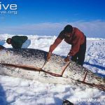 hcg diet ketosis and traditional inuit diet