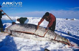 inuit diet and hcg diet