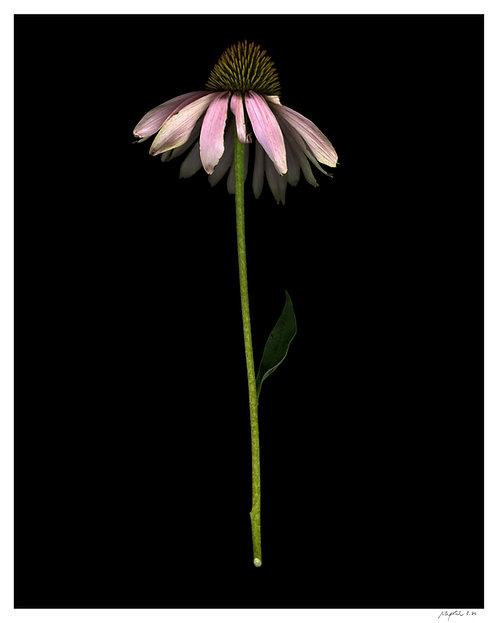Echinacea Print