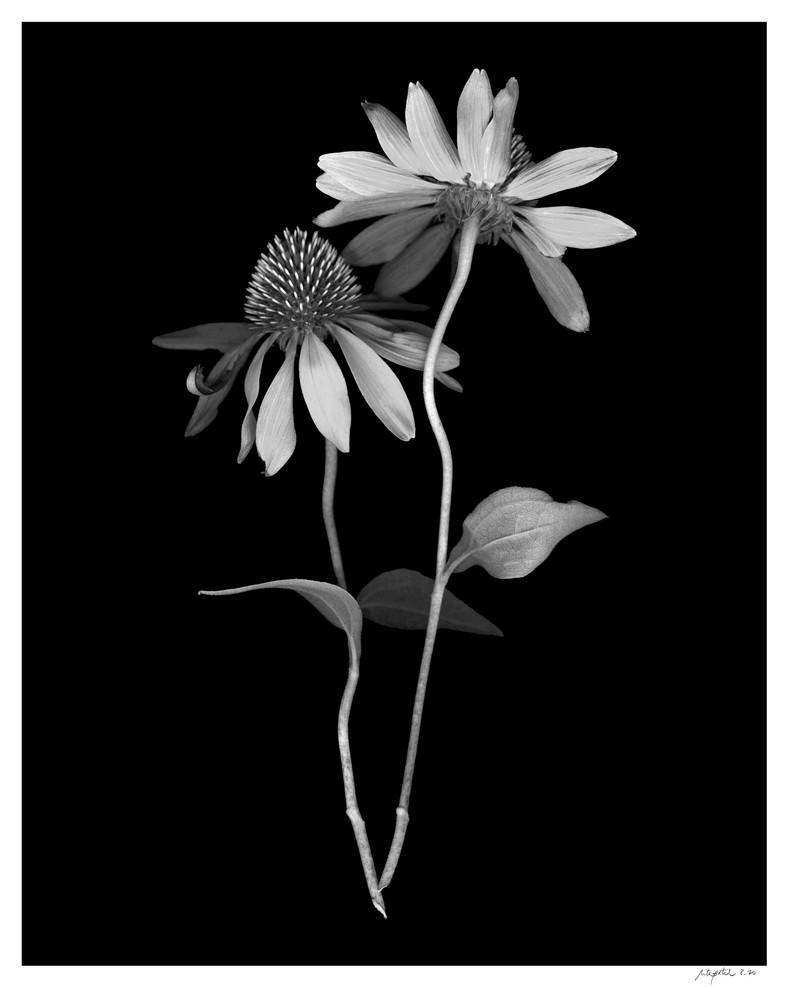 Dancing Echinacea Print