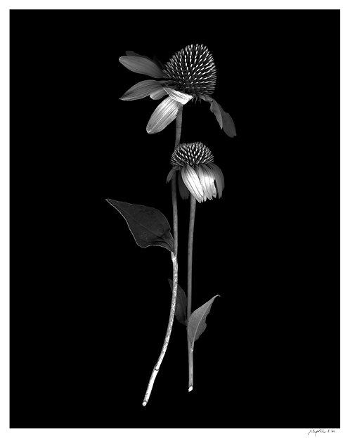 Hugging Echinacea Print