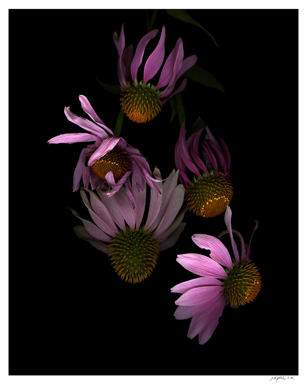 floating echinacea - flower photography sold as prints by Rita G. Patel