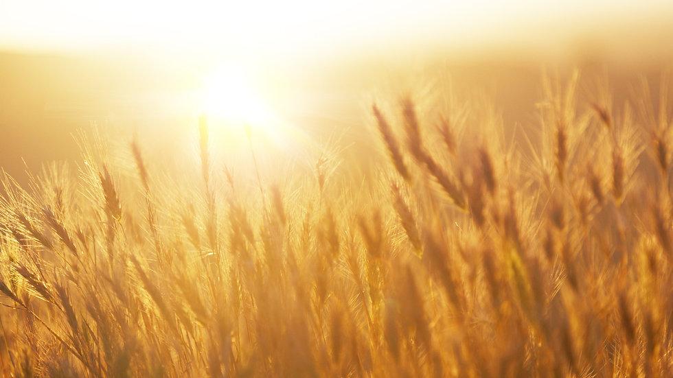 Sunrise over the Wheat Field_edited.jpg