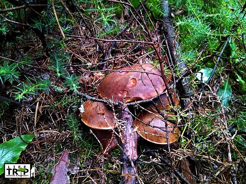 Wartościowe grzyby - podgrzybki