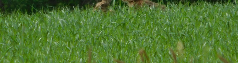 Zające w trawie