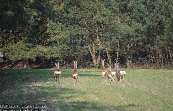 Spłoszone Jelenie biegnące przez łąkę.