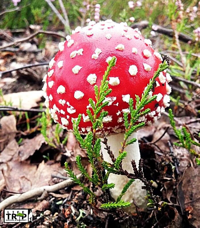 Muchomor czerwony - grzyb silnie trujący