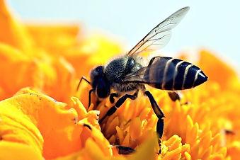 honeybee-3999664_640.jpg