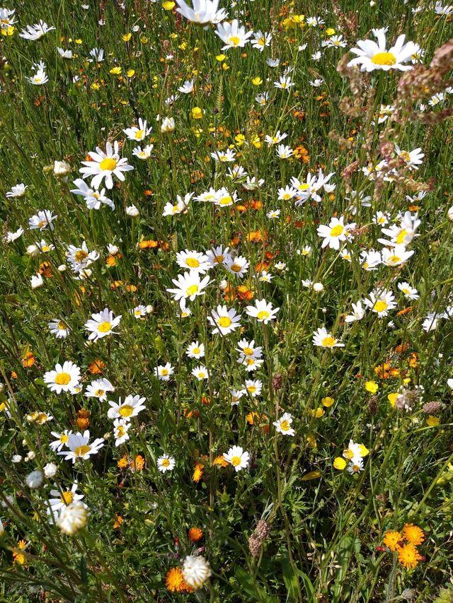 Hessay Wildflowers