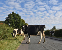 Dairy cows crossing New Road 2019