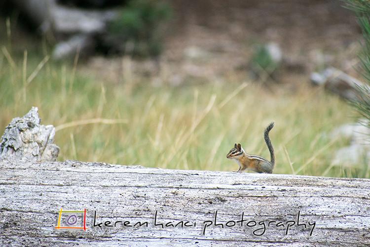 A chipmunk at the shore of Manzanita Lake, CA