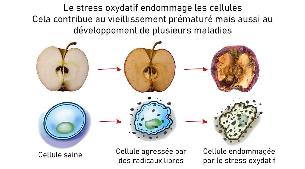 Le stress oxydatif endommage les cellules. Cela contribuent au vieillissement prématuré mais aussi au développement de plusieurs maldies.