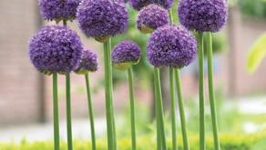 Allium (蔥屬)