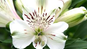 Alstroemeria (六出花)