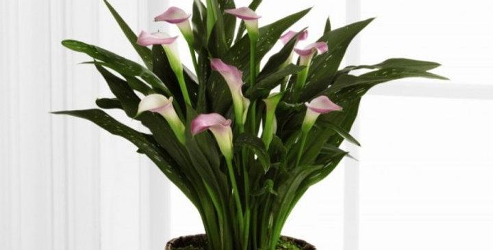 The FTD® Calla Lily Planter
