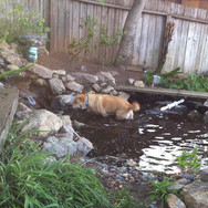 Chica in her new pond!