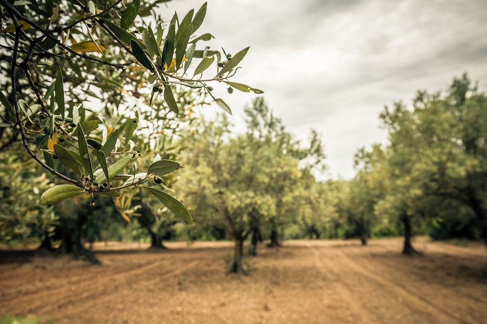 Canva - Close-up of an olive branch with
