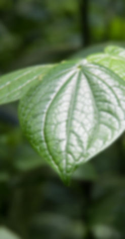 broad leaf single.JPG