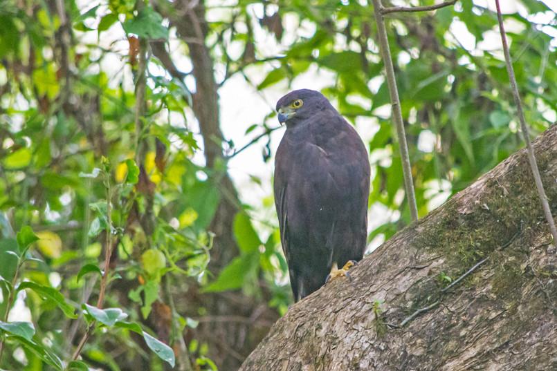 african goshawk-dark morph.JPG
