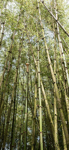 Ph28b_tall bamboo_eastern summit_portrai