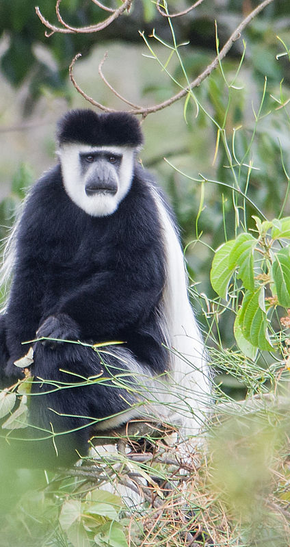 contemplative colobus.JPG