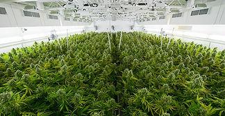 Cannabis Warehouse.jpg