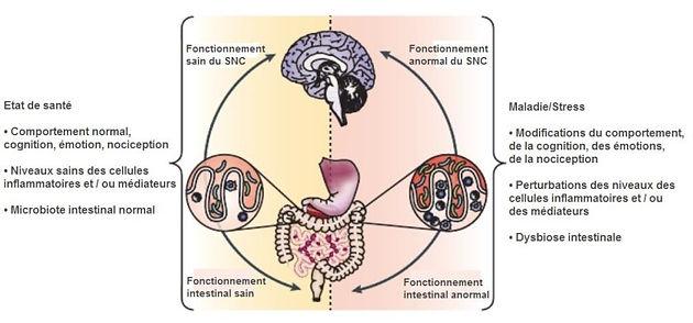 lien cerveau intestin