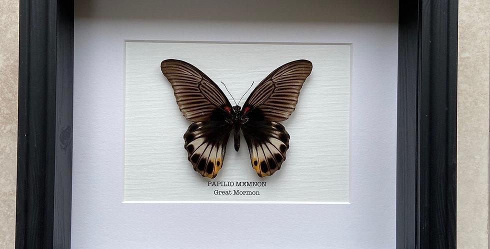 Great Mormon Butterfly Frame